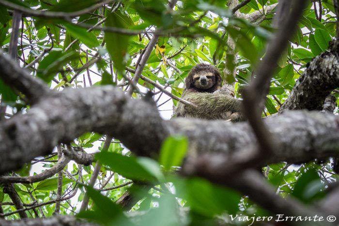 Perezoso subido a un árbol.
