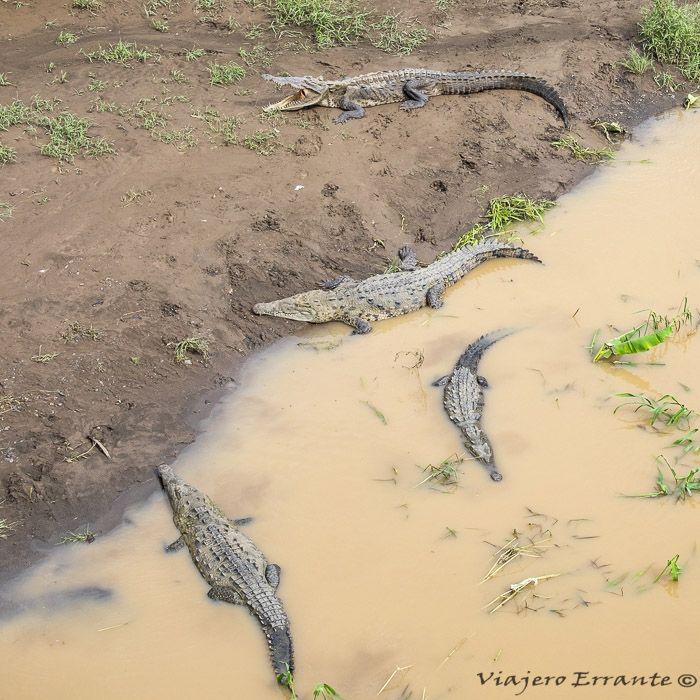 cocodrilos del río Tárcoles